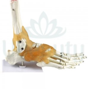 A model of the skeleton of the foot with ligaments. The layout of the foot.